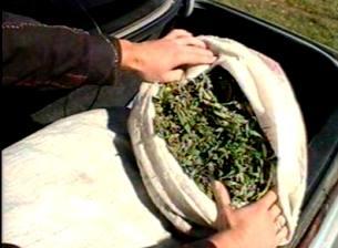 В Моздоке и в Чиколе изъято 1,5 килограмма марихуаны