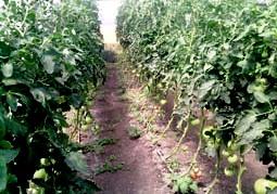 В совхозе «Терек» – овощное половодье