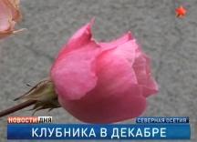 Первая декада декабря вернула Северную Осетию в субтропическую эру