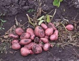 Чудо-картофель от Алихана КИБИРОВА
