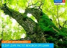 Растущий в Осетии 120-летний орешник привлекает внимание ученых