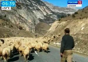 Овцы Северной Осетии признаны суперэлитными