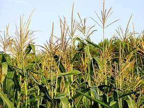 В Северной Осетии взят курс на семена собственного производства