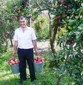 Время собирать… яблоки!