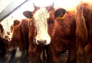 В поддержку Бибилову завезли бычков из Калмыкии