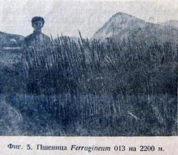 До Великой Отечественной в горах Южной Осетии успешно выращивали пшеницу