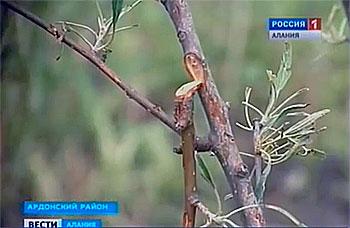 Град, который прошел в Северной Осетии, уничтожил посевы сельскохозяйственных культур