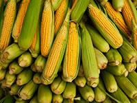 За 22 мешка кукурузы грозит срок четверым жителям Северной Осетии