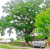 «Деревья – памятники живой природы»