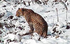 Пропавший в Южной Осетии леопард Эльбрус мог умереть от голода